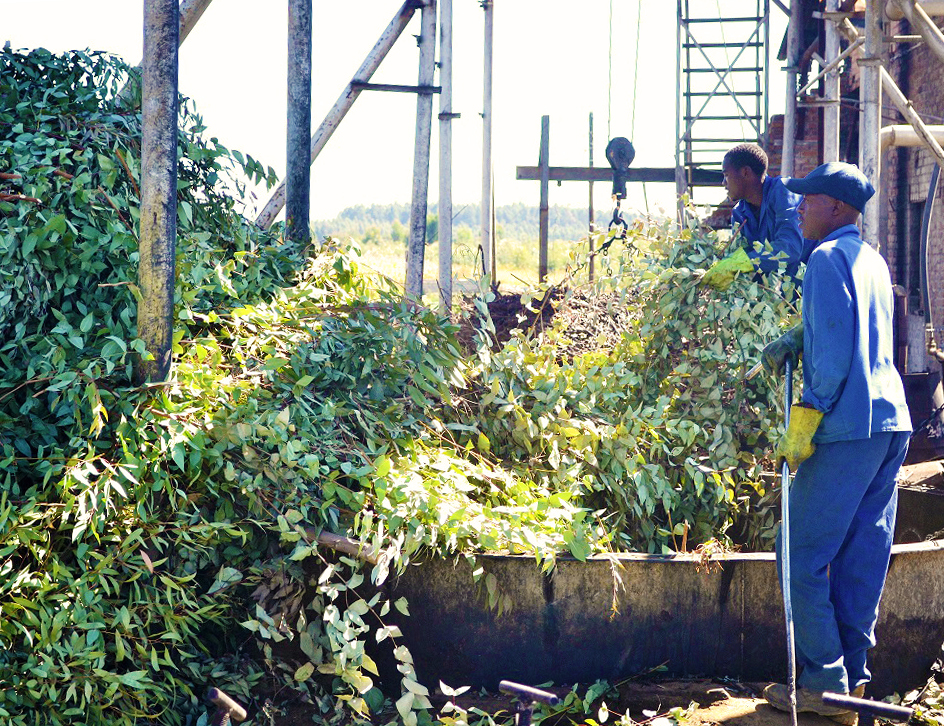 Harvesting time - Eucaforest Eucalyptus Oils Producers and Exporters