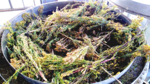 Tagette Processing - Eucaforest Eucalyptus Oils Producers and Exporters