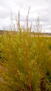 Tea Tree Bush - Eucaforest Eucalyptus Oils Producers and Exporters