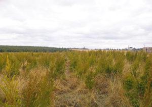 Tea Tree planting - Eucaforest Eucalyptus Oils Producers and Exporters