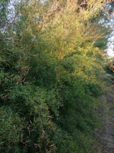 Lemon Eucalyptus - Eucaforest Eucalyptus Oils Producers and Exporters