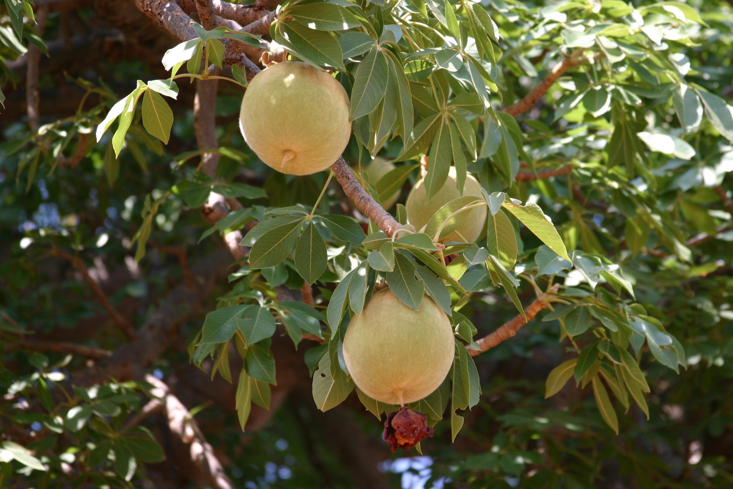 Eucaforest Eucalyptus Oils Producers and Exporters - Baobab Fruit