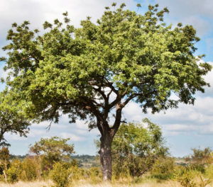 Eucaforest Eucalyptus Oils Producers and Exporters - Marula Tree
